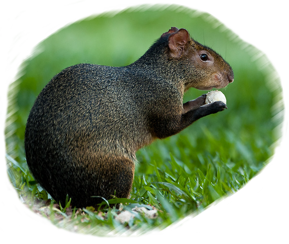 agouti-eating-nut-ringtone