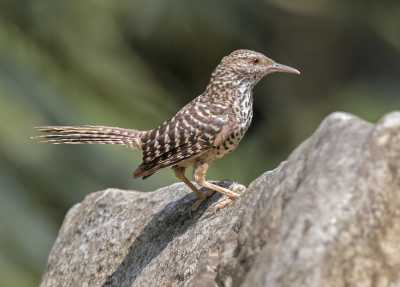 band-backed_wren