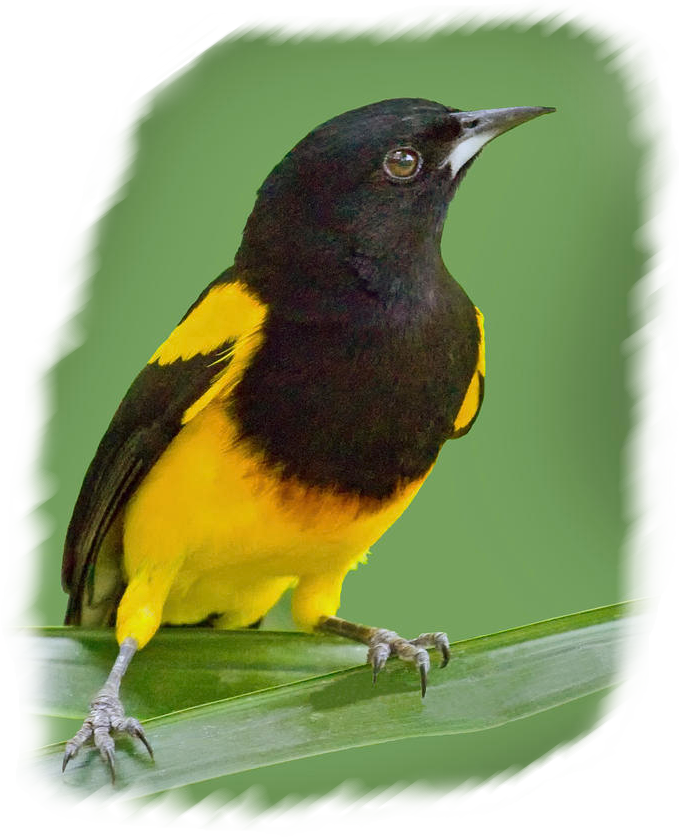 black-cowled_oriole
