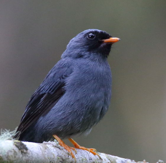 black-faced-solitaire