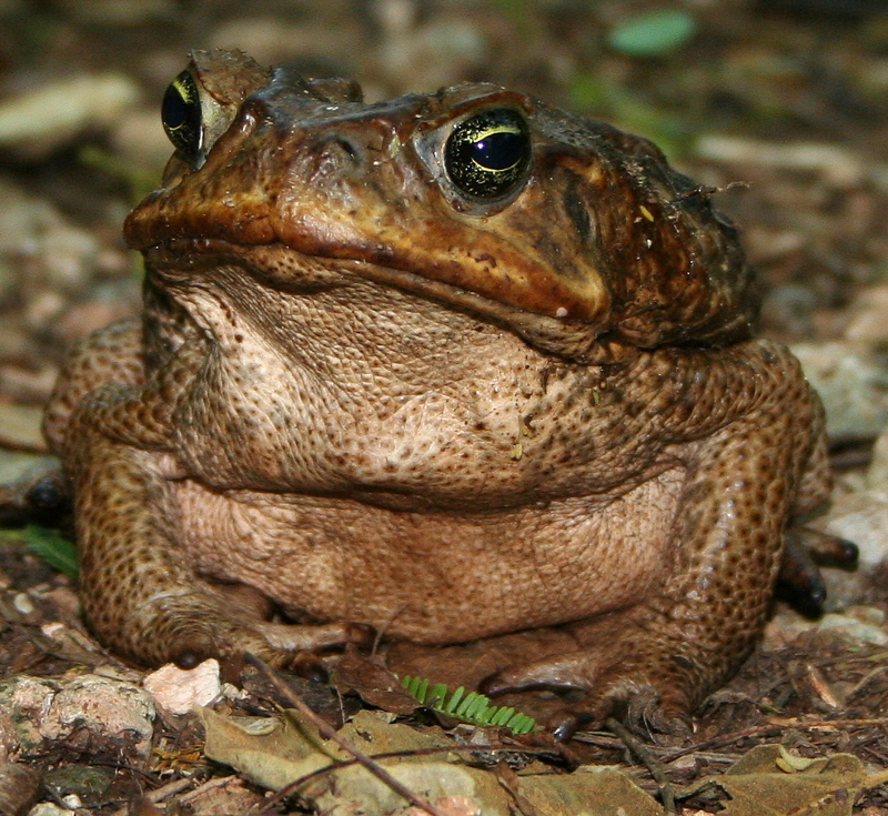 large-toad-ringtone_evamob