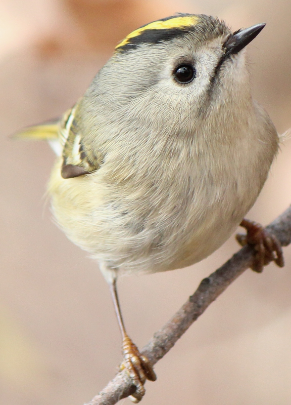 golden crowned kinglets ringtone