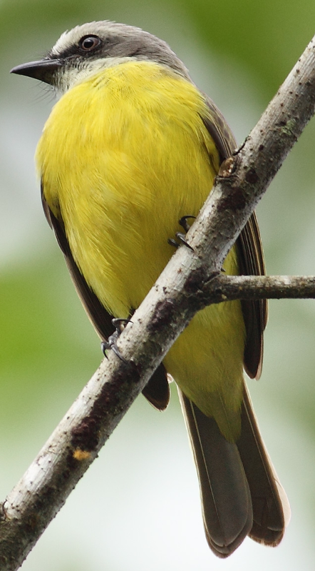 gray capped flycatcher ringtone