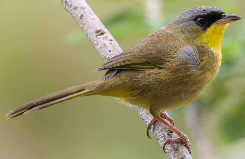 gray crowned yellowthroats ringtone