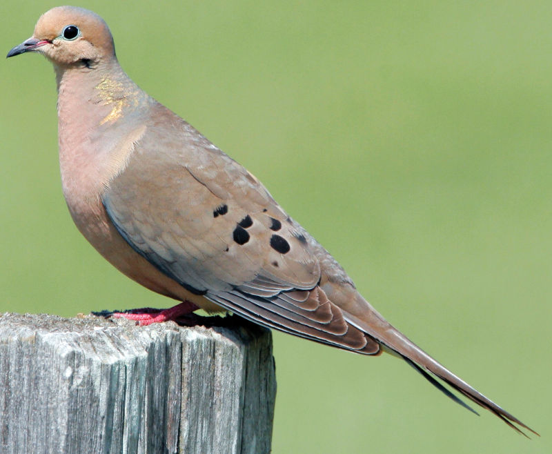 gray fronted dove ringtone