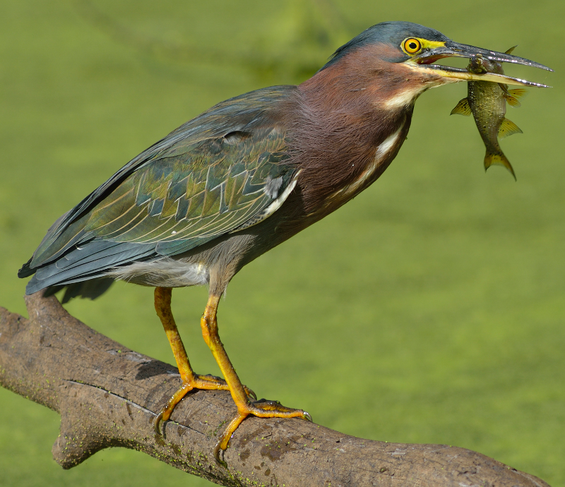 green heron ringtone