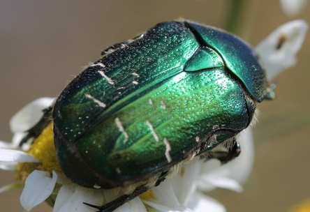 green june beetles ringtone
