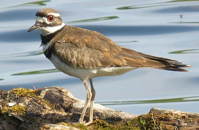 killdeer ringtone