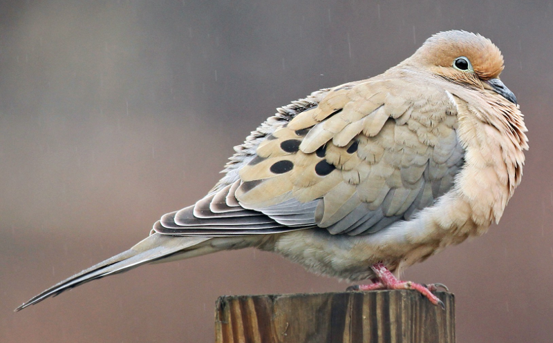 Mourning dove ringtone
