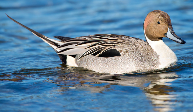 Northern pintails ringtone