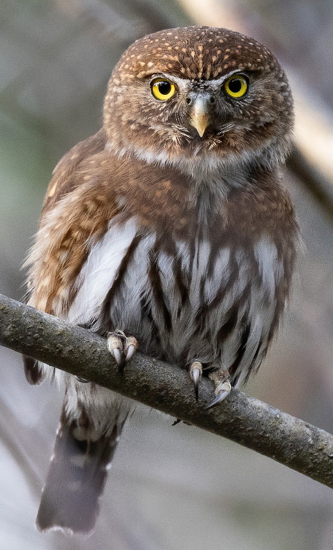 Northern pygmy owl ringtone