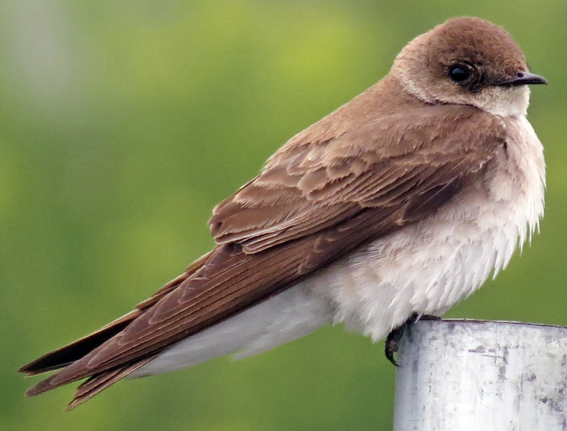 Northern rough winged swallows ringtone