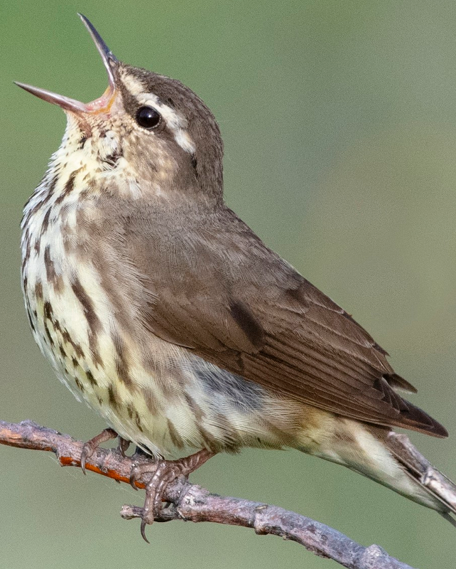 Northern waterthrush ringtone