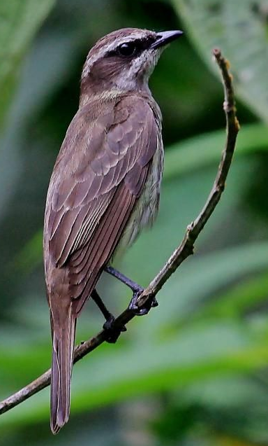 Piratic flycatcher ringtone