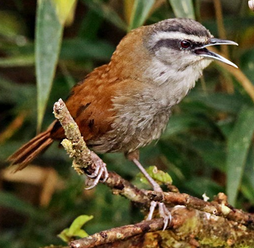 Plain wren ringtone