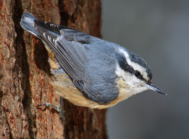 Red breasted nuthatch ringtone