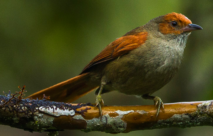Red faced spinetail ringtone