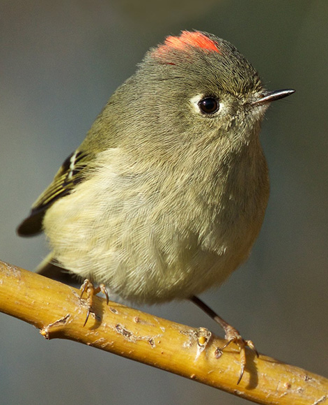 Ruby crowned kinglets spring song ringtone