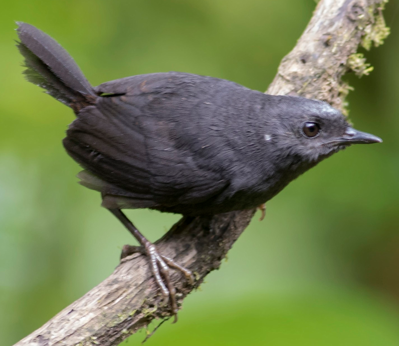 Silvery fronted tapaculo ringtone