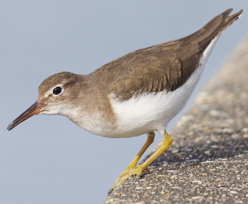 Spotted sandpipers ringtone