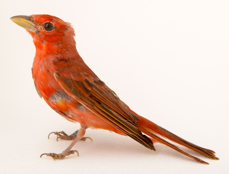 Summer tanagers ringtone