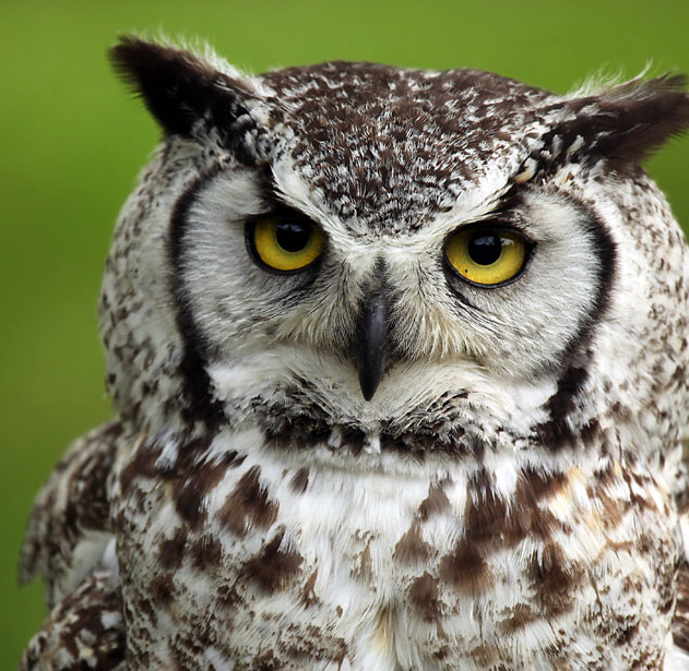 Two great horned owls ringtone