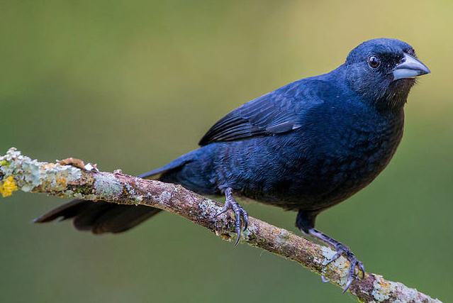 White lined tanagers ringtone