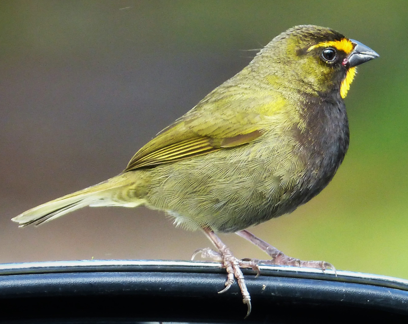 Yellow faced grassquits ringtone
